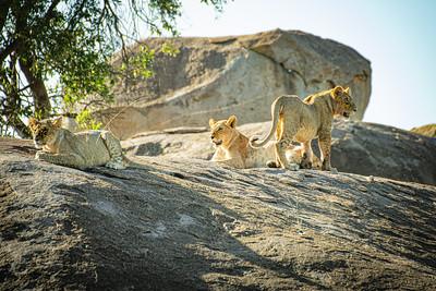 Lions cubs 1305