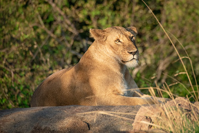 Lioness 1169