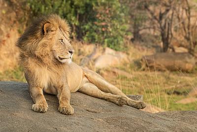 Lion Mara 3436