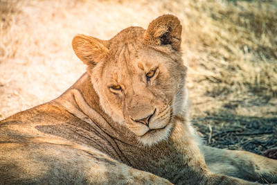 Lioness 8729