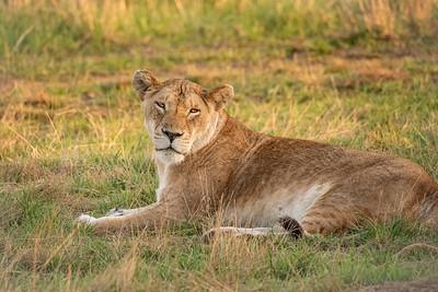 Lioness 1126