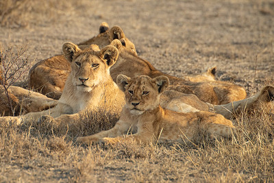 Lioness and pride 3146