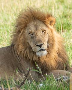 Lion 0396