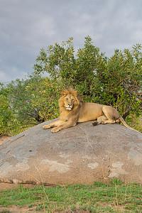 Lion - Mara River 3445