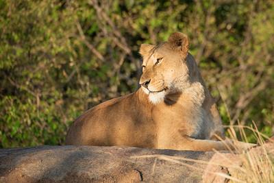 Lioness 1189