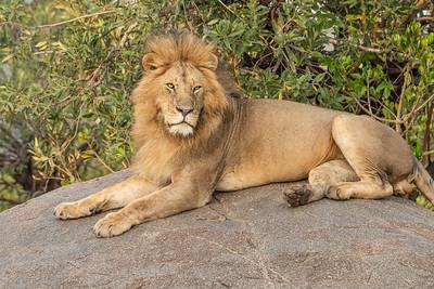 Lion Mara River 3448