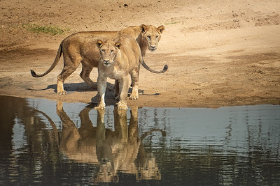 Lions at the creek 4647