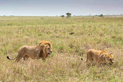 Lions 9719