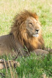 Lion 0393
