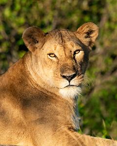 Lioness 1210