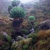 Marangu Route Giant groundsel