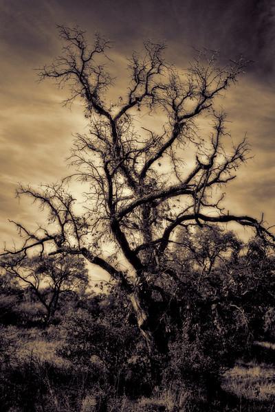 Cemetery Oak
