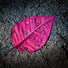 Jan 4, 2013<br /> Poinsettia leaf on the ground