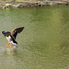duck walking on water...