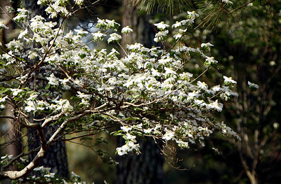 White dogwood stands out against the shade of the pines during the Wednesday Practice Day at the 2010 Masters at Augusta National Golf Club.