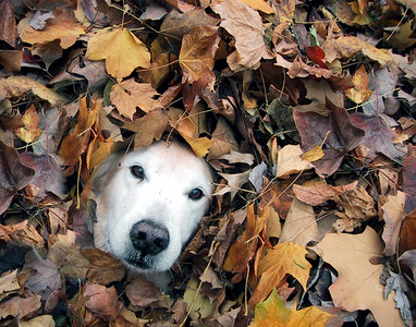 Chip, age 13, waits for his picture to be taken while laying in a pile of autumn leaves. He rolled into the leaves while playing with Anne, then stayed perfectly still long enough to go fetch the camera.