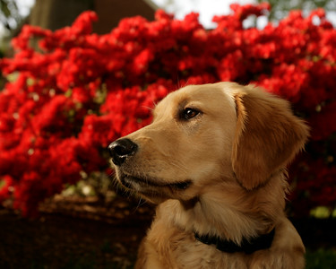 Baker, six months old, sits in front of a row of blooming azaleas.