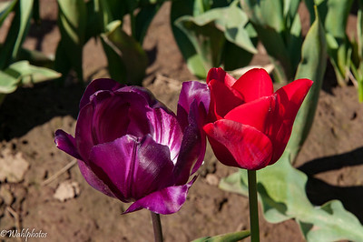 Wooden Shoe Tulip Farms_2016 04 01-8