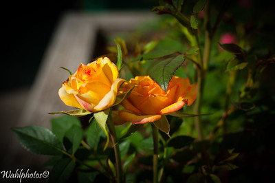 Flowers_Roses_Yellow-5772