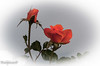 Flowers_Roses_comp-