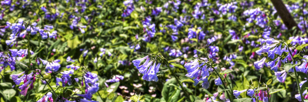 "<h3 style=""text-align: left;""><strong>Today's Photo:  Bonnie Bluebells</strong></h3> I was walking around <a title=""Manassas National Battlefield Park"" href=""http://www.nps.gov/mana/index.htm"" target=""_blank"">Manassas National Battlefield Park</a> when I ran across a field of bluebells beside Bull Run.  I have seen bluebells before, but not in the abundance that I saw flowing through the woods.  I decided to do a little checking and found on wikipedia that bluebells at typically ""associated with <a title=""Ancient woodland"" href=""http://en.wikipedia.org/wiki/Ancient_woodland"">ancient woodland</a> where it may dominate the understorey to produce carpets of violet–blue flowers in ""<a title=""Bluebell wood"" href=""http://en.wikipedia.org/wiki/Bluebell_wood"">bluebell woods</a>"".  I guess I found one of those ""bluebell woods""  - Daryl Clark  Read more at the <a href=""http://justshootingmemories.com"">Daily Photography Blog</a> Just Shooting Memories!..."