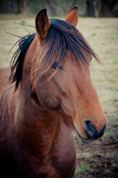 """<h3 style=""""text-align: left;""""><strong>Today's Photo: Mr. Ed</strong></h3> How many people out there remember the talking horse, Mr. Ed.  I'm not sure there are that many left.  I found this one, not Mr. Ed, the other day driving home.  There were several horses in the pasture and one foal.  The foal was running around the other horses in circles.  I stopped to get a few shots and this one walked up to the fence.  He started moving his mouth.  I don't know if he was trying to talk or just wanted an apple.  However, if he was trying to talk, it had to have been something about the foal running in circles."""