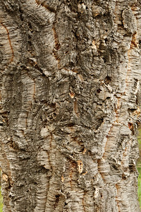 It is a cork oak tree, It's what they make wine corks from . .