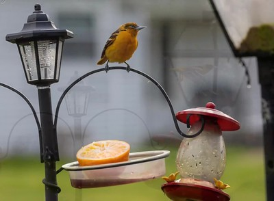 Female Baltimore Oriole stop in for a treat!