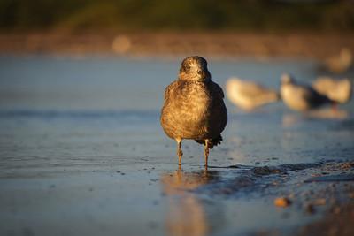 Juvenile Pacific Gull
