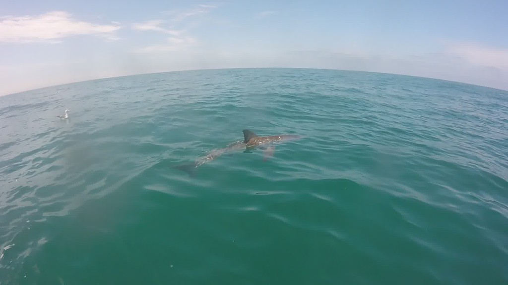 . This juvenile great white shark was photographed in Mexico (CICESE -- Contributed)