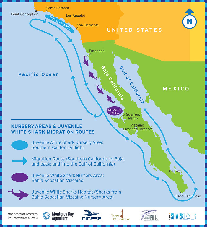. Scientists have recently confirmed a new white shark nursery in Sebastian Vizcaino Bay, Mexico. This map shows the migration routes between a previously known nursery in Southern California and the new one in Baja, Mexico. (Monterey Bay Aquarium -- Contributed)
