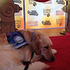 Wednesday, May 8 2013 - K-9 Comfort Dogs are honored on Good Morning America for their work at Crisis locations such as Joplin, MO, Boston and Sandy Hook Elementary School.