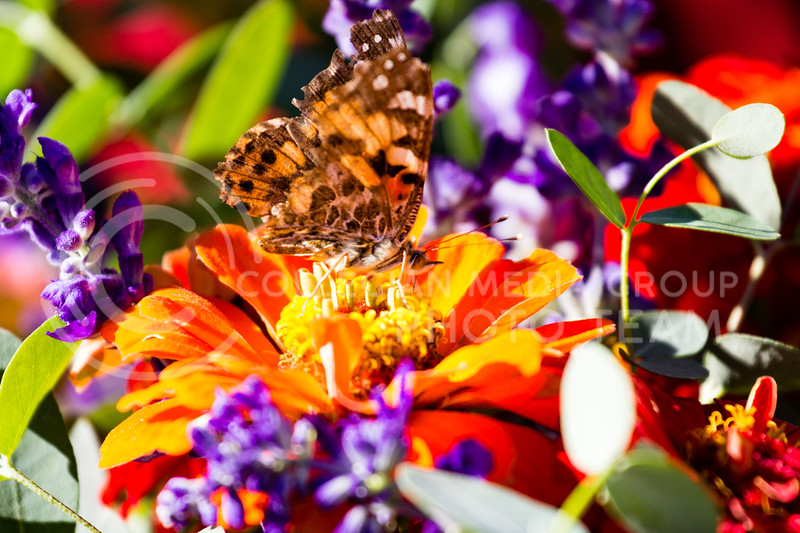 A Butterfly Lands on a flower for sale at the K-state Farmers Market on the 25th October, 2017