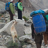 "Our goat, ""Dinner"", eats along the way as Asif leads it pas Linda and Anisa."