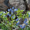 An unidentified flowering shrub of the Baltoro.