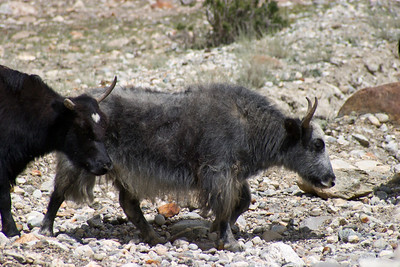 The two true yaks.