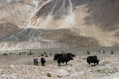 As we approach the second bridge, we come across a yak herd on the rocky plain.  The yaks pretty much wander and graze on their own.  Most of these are actually a yak-cattle hybrid, making them a little beefier.  The two on the far left are true yaks and are smaller with thinner horns.