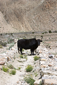 Yak on the prowl.