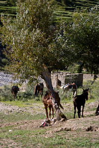 In addition to porters, there are a number of donkeys, ponies, and mules that have been carrying cargo up the trail in recent years.  We get ourselves three of these also.