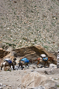 More horses and mules carry gear for other expeditions.