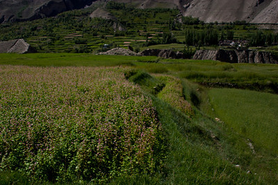 """Fields around Askoli seem to alternate between a wheat looking plant, and this flowery stuff.  On the way up we asked the kids about it, but all they could tell us was that it is """"food"""".  On the way back down we find out that it is a variety of millet."""
