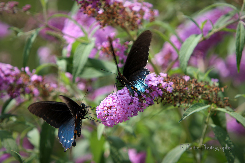 Two Pipevine Swallowtails