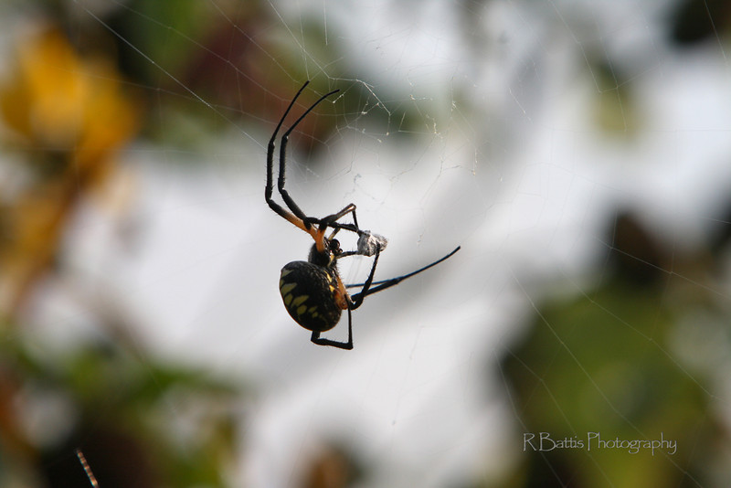 Black & Yellow Garden Spider silk wrapping a fly