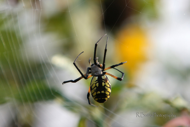 Black & Yellow Spider spinning a web