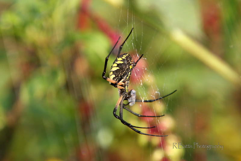 Black & Yellow Garden Spider eating a wrapped fly