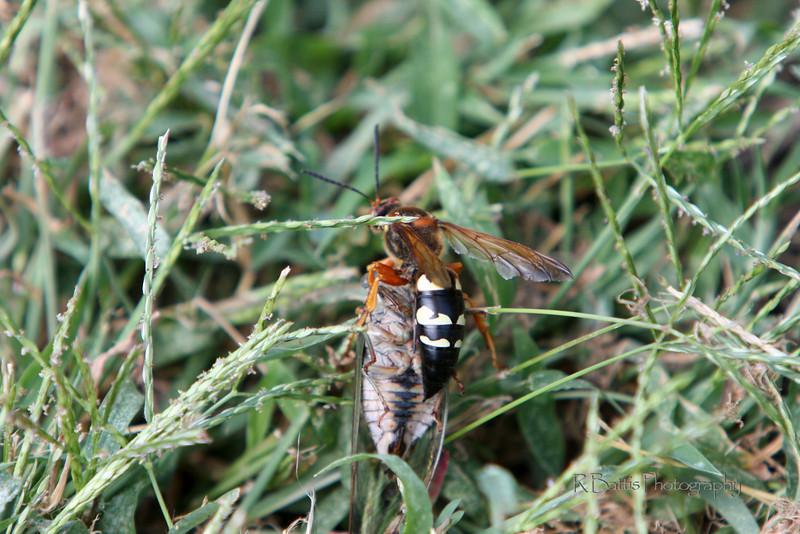 Cicada killer with a dead cicada