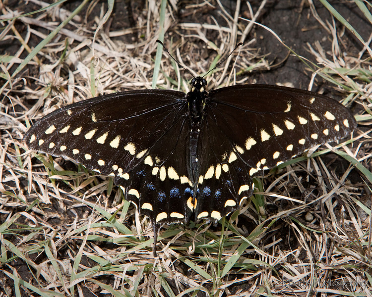 Black Swallowtail butterfly on the Tallgrass Prairie National Preserve