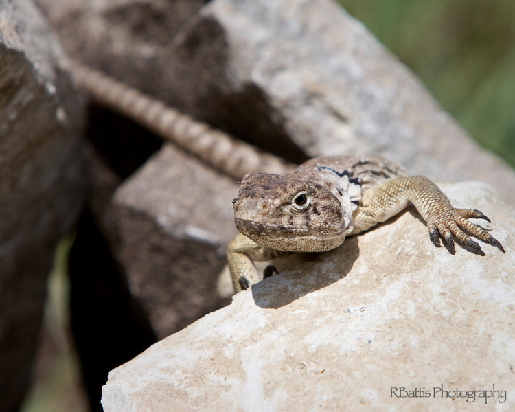 Female Collared Lizard on the Tallgrass Prairie National Preserve