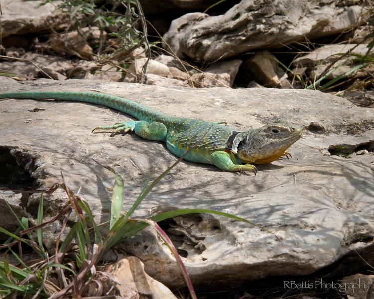 Male Collared Lizard on the Tallgrass Prairie National Preserve