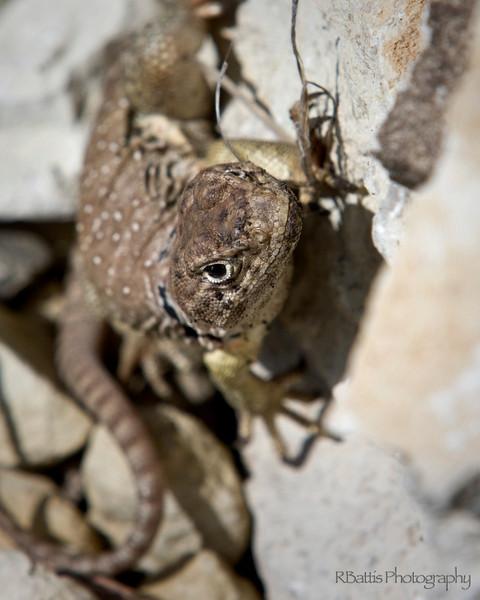 Female Collared Lizard on the Tallgrass Prairie National Preserve
